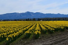 Daffodils in Skagit Valley.