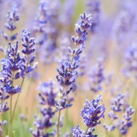 Guide: Culinary Lavender