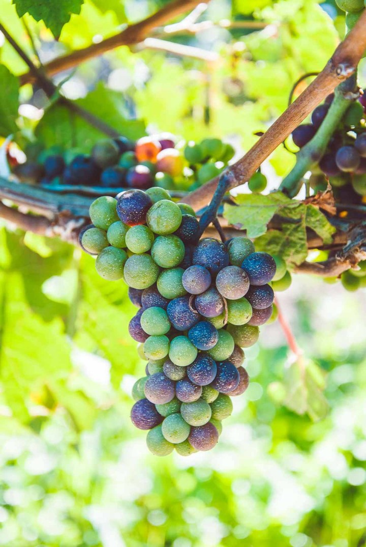 Bundle of green and purple icewine grapes on the vine.
