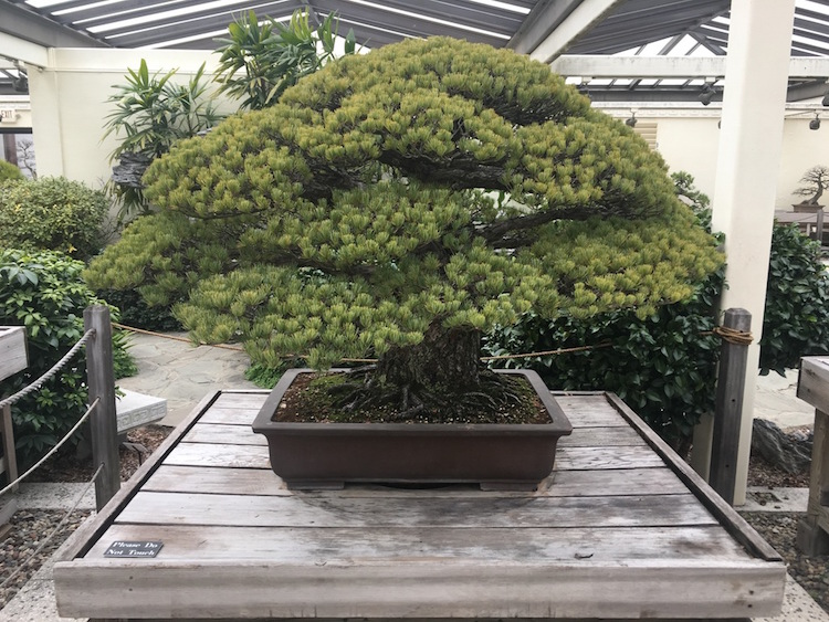 hiroshima bonsai tree national arboretum