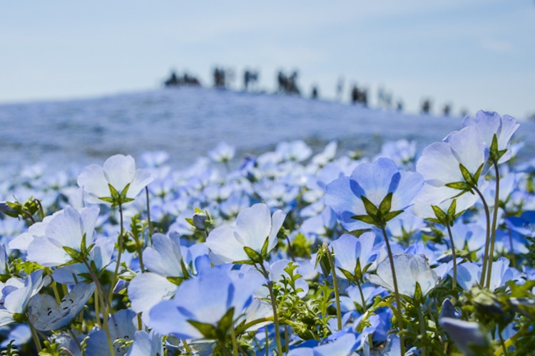 Nemophila Blooms Hitachi Seaside Park Blue Flowers