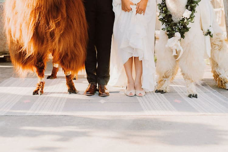 Wedding Llamas Can Turn An Ordinary Wedding Into A Llama