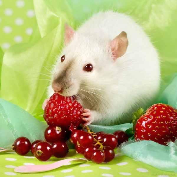 Cute Pet Rat Photos That Will Melt Your Heart by Diane zdamar