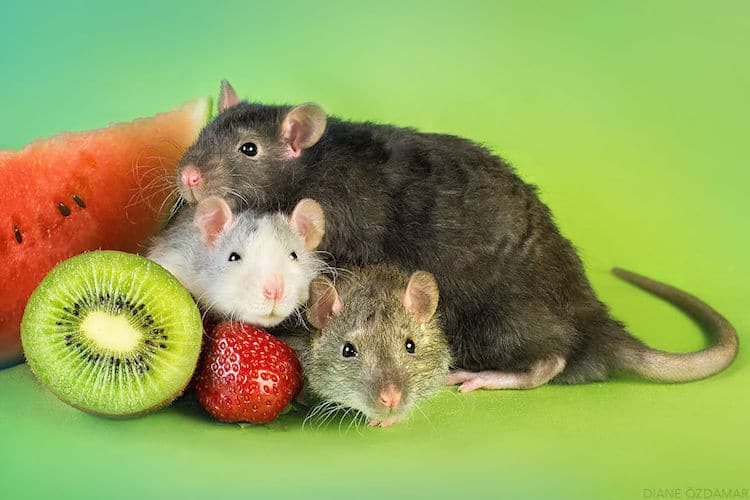 Image result for cute rats