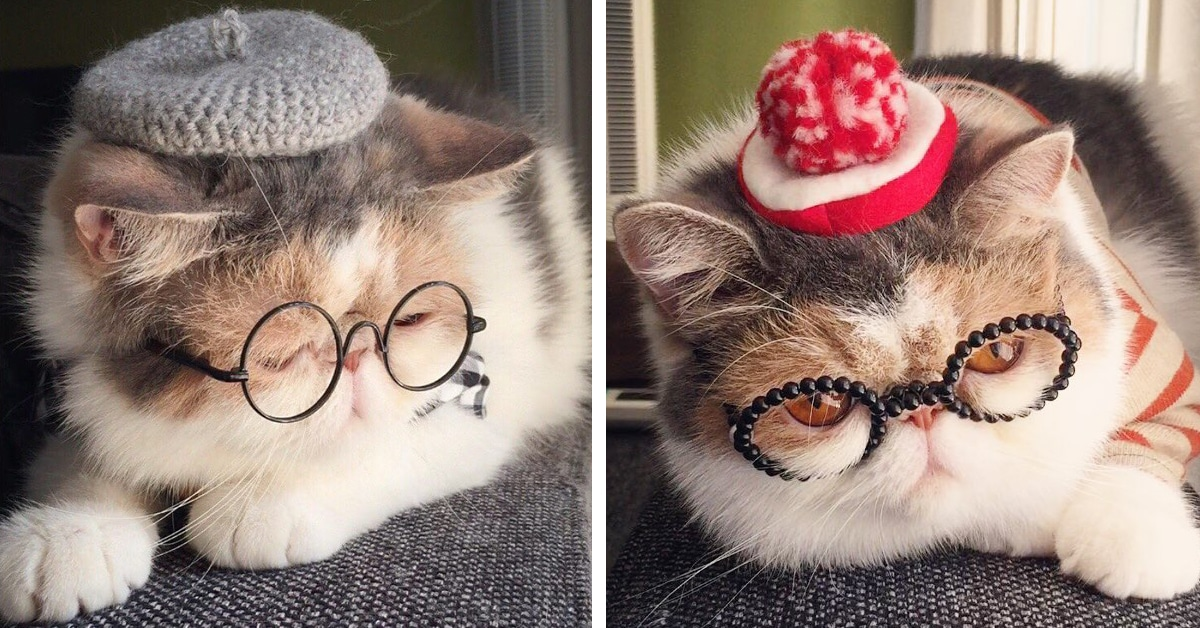 This Insta Famous Japanese Shorthair Cat Has A Serious