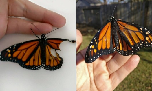 How to Repair a Monarch Butterfly Wing