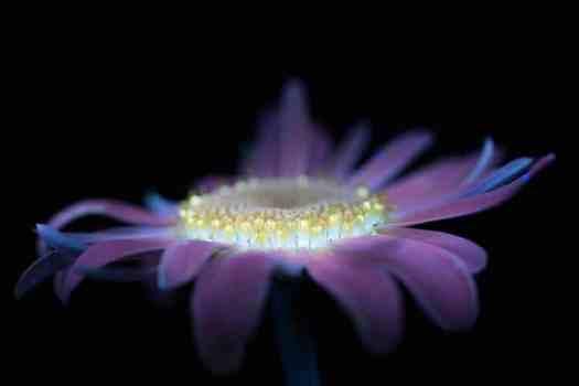 UV Flowers UV Photography Ultraviolet Photography Craig Burrows