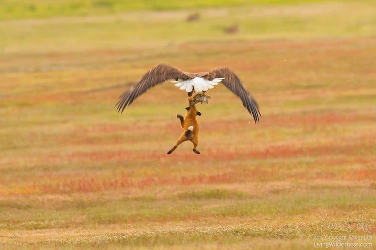 Wildlife Photography by Kevin Ebi