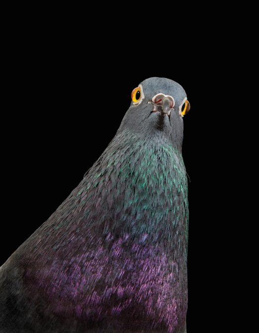 Pigeon Photos by Andre Garn
