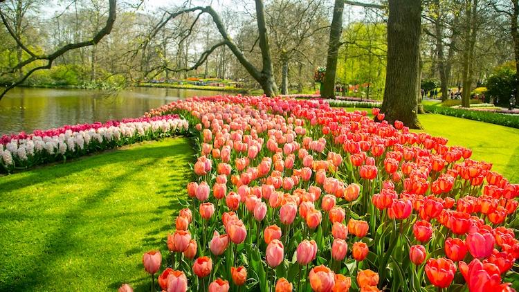 Tulip Garden in The Netherlands