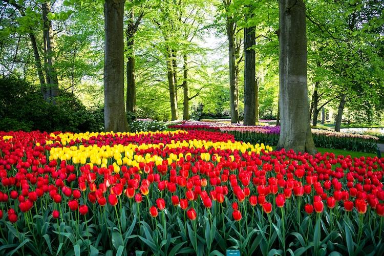 Famous Dutch Tulip Garden