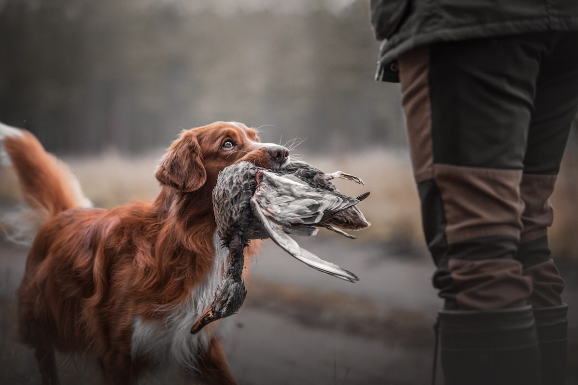 Nova Scotia Duck Tolling Retriever retrieving a duck