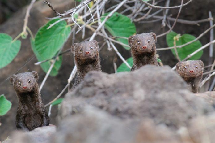 Dwarf mongoose in Kenya
