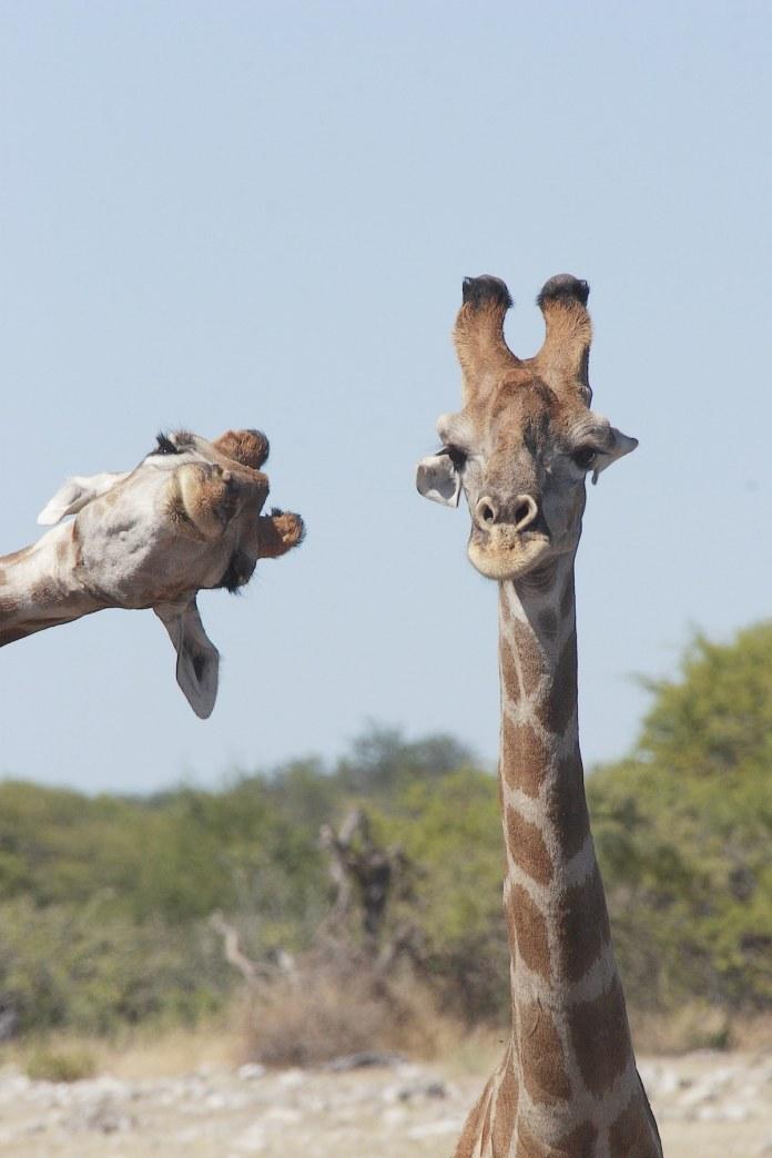 Two giraffes at Etosha National Park
