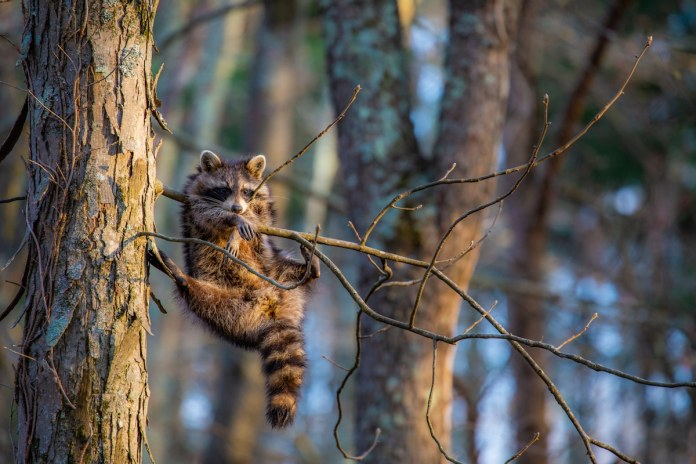 Raccoon hanging from a branch