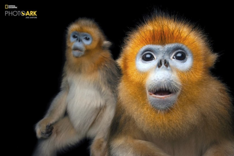 Two Golden snub-nosed monkeys by Joel Sartore