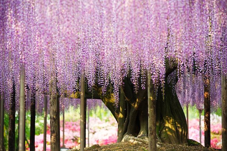 Image result for wisteria tree