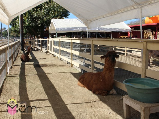 Llama llama face the camera!
