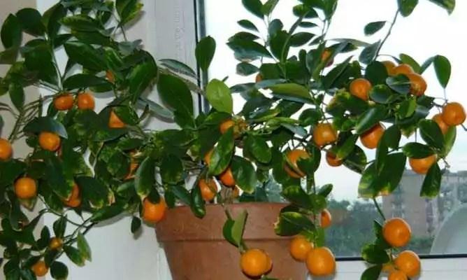 Домашний мандарин – Citrus Plants Ornamental Calamondin