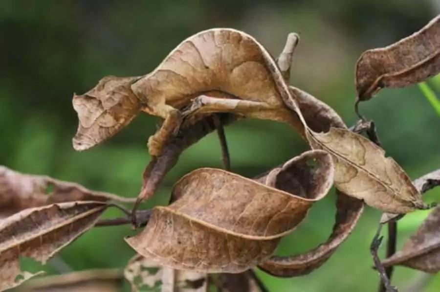 Ночной листохвостый геккон