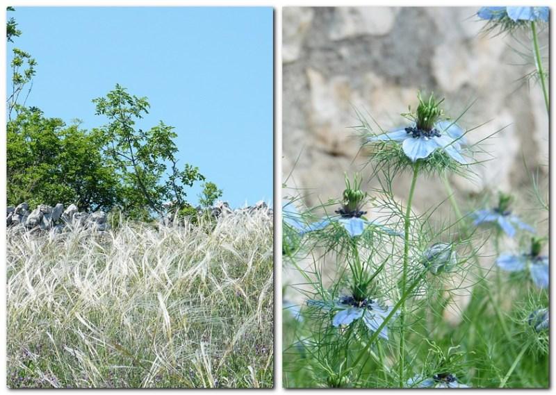 12_auf dem Wanderweg sieht man ausser dem vielen Salbei auch noch schöne Gräser und Blumen