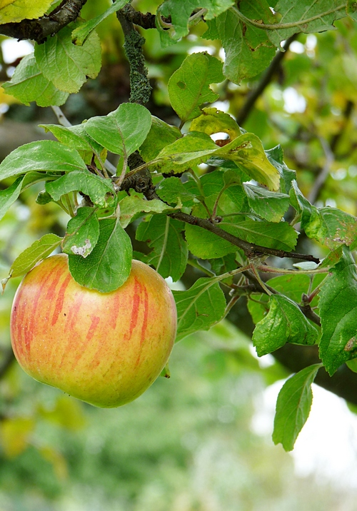 Gesichtstoner mit Apfelessig selber machen