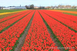 Picture of Tulip field in the Netherlands