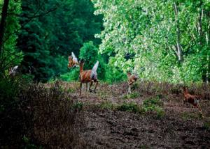 Deer love to play in Fenner's natural landscape/