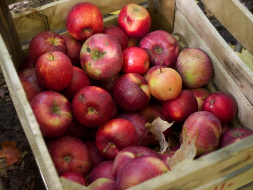 Apples from MSU Horticulture