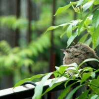 Yellow-vented Bulbul juveniles visit our home! (Part 2)