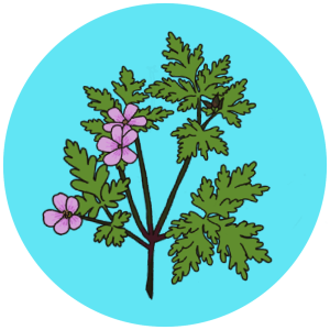 herb robert flowers
