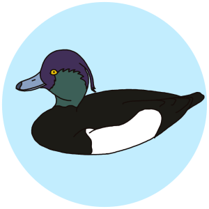 tufted duck, birds field guides