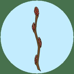 hornbeam buds