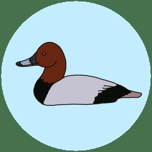 pochard