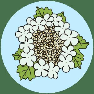guelder rose flowers
