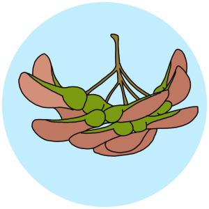 field maple seeds
