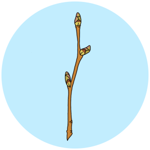 Birch buds