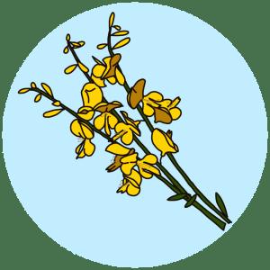 identifying flowering trees broom