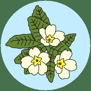 primrose, spring flowers