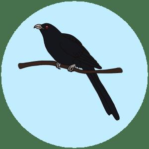 asian koel, birds of bangalore
