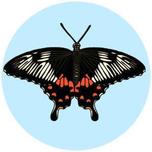 common mormon, butterflies of bangalore