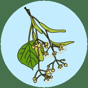 identifying flowering trees, linden flowers