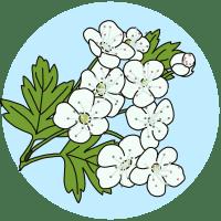 spring flowers - identifying flowering trees, hawthorn, flowers field guides