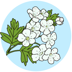 spring flowers - identifying flowering trees, hawthorn, flowers field guides