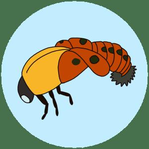 Emerging ladybird