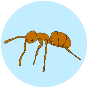 meadow ant