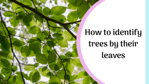 how to identify trees by their leaves