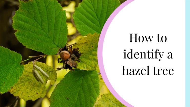 how to identify a hazel tree