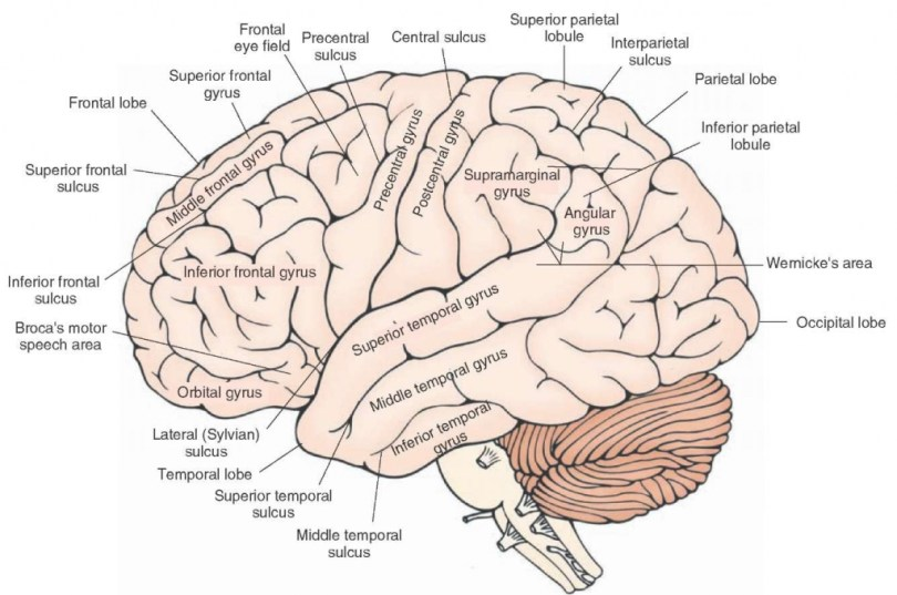 Anatomy Of The Frontal Lobe Brain Anatomy Frontal Lobe Human Anatomy Diagram