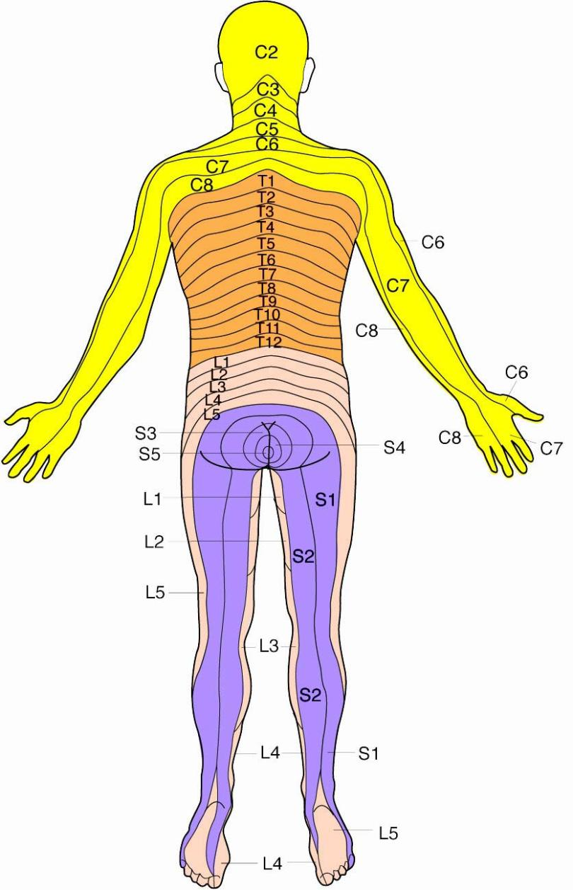 Dermatome-Posterior-Lge